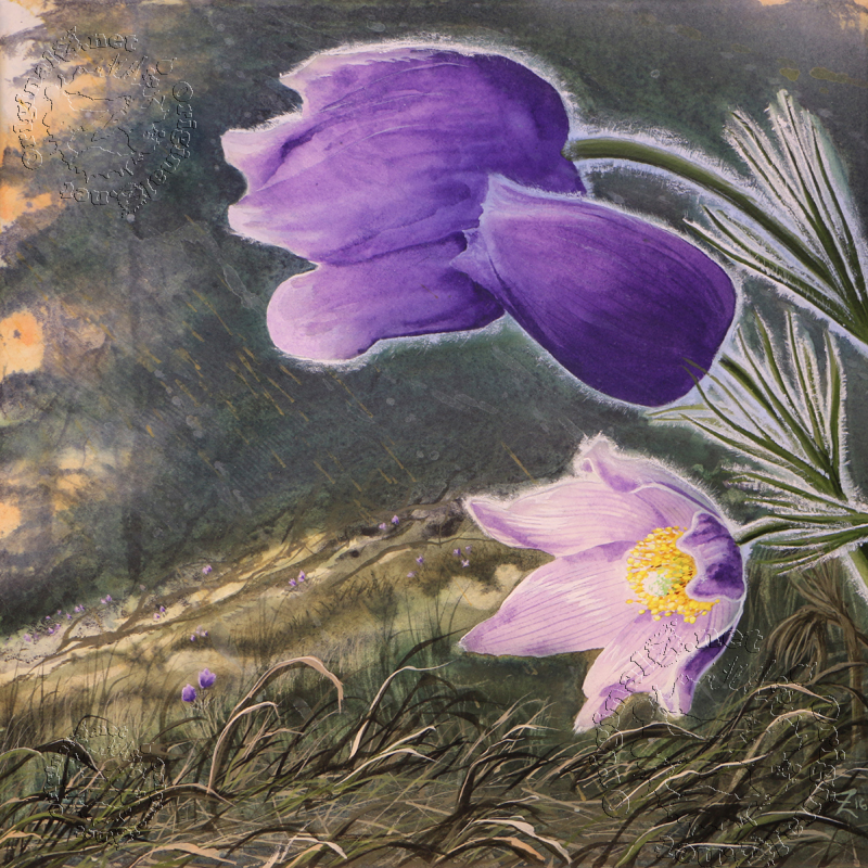 Crocus Flower Watercolor by Montana artist Joe Ziolkowski